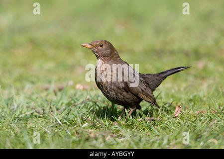 Eurasian Blackbird Turdus merula adult female on the ground - Stock Photo