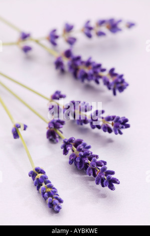 Cut flower stems of Lavandula angustifolia 'Hidcote' (Lavender) - Stock Photo