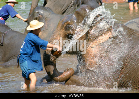 Mahouts washing their elephants in river, early morning at Maesa elephant training camp near Chiang Mai, Northern - Stock Photo