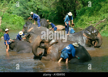 Mahouts washing their elephants in river, early morning at Mae Sa elephant training camp near Chiang Mai, Northern - Stock Photo