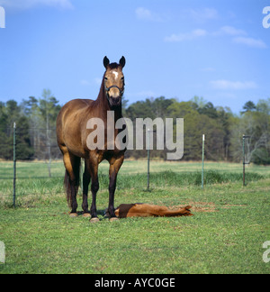 QUARTER HORSE MARE STANDING BY RESTING TWO DAY OLD COLT GEORGIA - Stock Photo