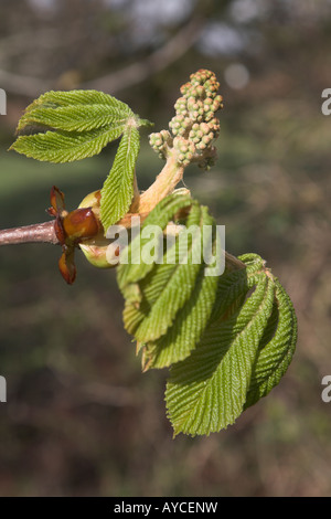 Horse chestnut tree bud and new leaves - aesculus hippocastanum - Stock Photo