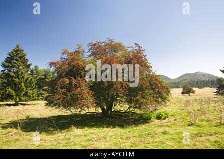 The hawthorn (Crataegus monogyna) in fructification. Aubépine monogyne (Crataegus monogyna) en fruits. - Stock Photo
