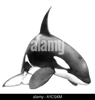 Orca Whale, Killer Whale (Orcinus orca), drawing - Stock Photo