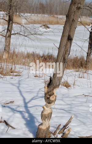 Beaver damage on a tree with the beaver lodge in the background - Stock Photo