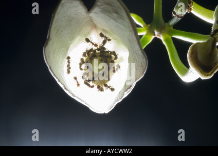 ants in a calyx flower blossom black dark  background cutout cut out SINGAPORE  park botanical ASIA - Stock Photo