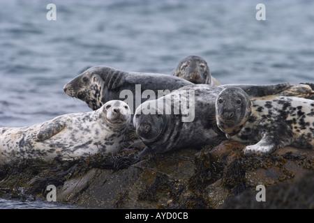 Atlantic Grey Seals, Halichoerus grypus, - Stock Photo