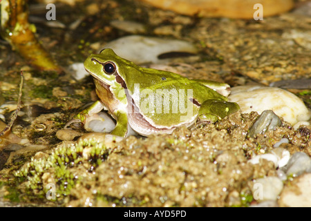 Hyla arborea, Europäischer Laubfrosch - Stock Photo