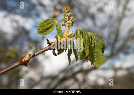 Buds and leaves of horse chestnut tree - aesculus hippocastanum - Stock Photo