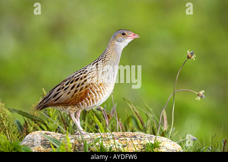 Corncrake, Crex crex, calling, Balranald, North Uist, Scotland, UK, wild bird, - Stock Photo