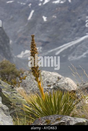 Golden Spaniard (Aciphylla aurea) in the Hooker Valley, southern alps, South Island, New Zealand - Stock Photo