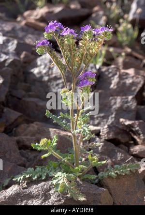 Notch leaved phacelia - Stock Photo