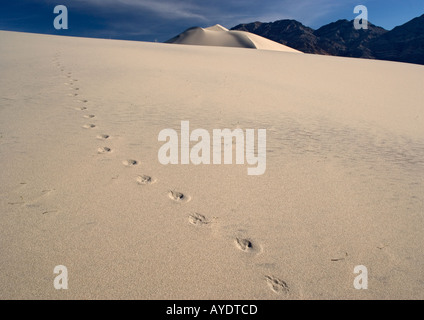 Coyote footprints on sand dunes in Eureka dunes, Death Valley National Park, California, USA - Stock Photo
