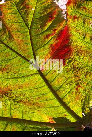 Leaf of giant rhubarb (Gunnera manicata) - Stock Photo