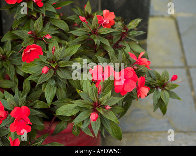 Pot of lush red New Guinea impatiens in hothouse - Stock Photo