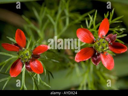 Pheasant's eye (Adonis annua) close-up, UK, - Stock Photo