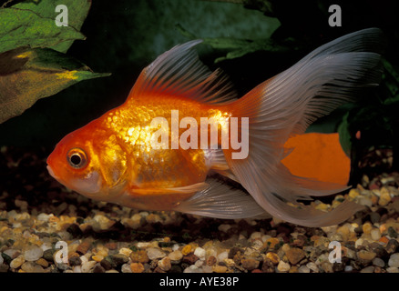 Goldfish common carp carassius auratus breed calico for Common freshwater aquarium fish