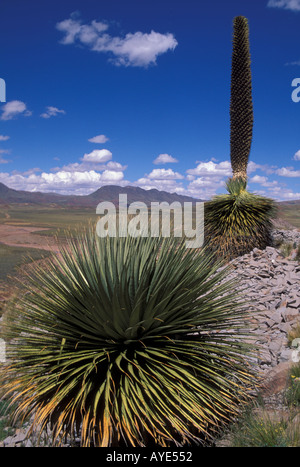Puya Raimondii century plant Cerro Comache National Park Altiplano Bolivia - Stock Photo