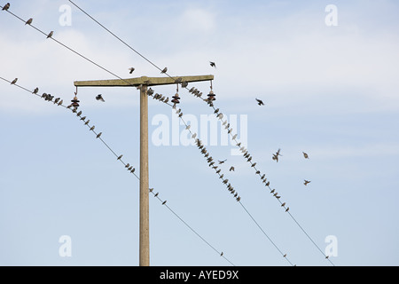 Birds on wires - Stock Photo