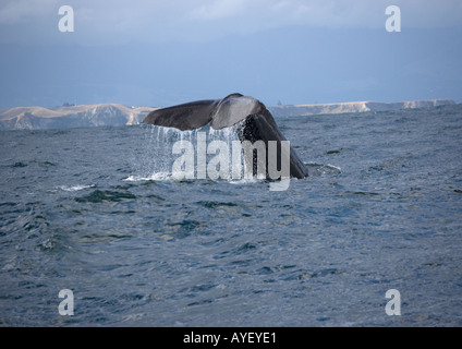 Sperm whale (Physeter macrocephalus )in deep water off South Island New Zealand fluke exposed before diving - Stock Photo