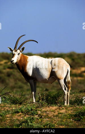 Scimitar horned oryx Sahara oryx Oryx dammah Morocco extinct in the wild - Stock Photo