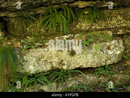 Maidenhair ferns Adiantum capillus-veneris growing in the crevices of a limestone cliff - Stock Photo