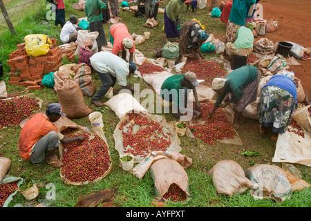 Africa Kenya Ruira Coffee pickers sort through piles of ripe Arabica coffee beans during harvest - Stock Photo