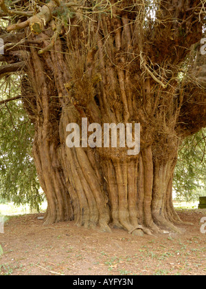Yew - Stock Photo