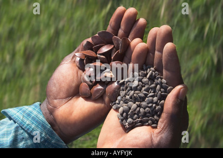 Close up of hands with large seeds of Akasaa white wood tree  for forest rehabilitation and Prekese which fix nitrogen - Stock Photo