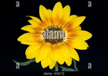 Sunflower - genus Helianthus - Stock Photo