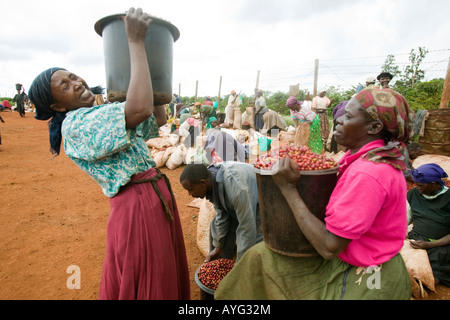 Africa Kenya Ruira Pickers lift buckets filled with Arabica coffee beans during harvest - Stock Photo