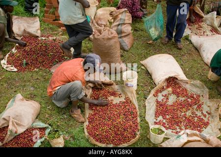 Africa Kenya Ruira Coffee pickers sort through piles of ripe Arabica coffee beans during harvest at Socfinafs Oakland - Stock Photo