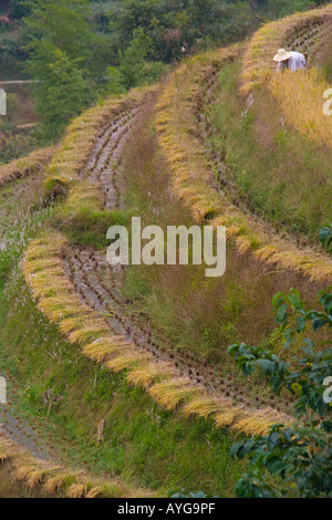 Women Cutting Rice in Terrace Fields Minority Yao Village of Ping An during Harvest Season Longsheng China - Stock Photo