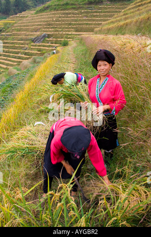 Yao Women Cutting Rice in Terrace Fields Minority Zhuang Village of Ping An during Harvest Season Longsheng China - Stock Photo