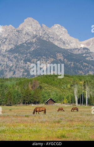 Horses in a Field, Mountains behind, Grand Tetons National Park Wyoming USA - Stock Photo