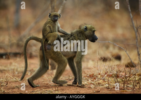 Africa Botswana Chobe National Park Infant Chacma Baboon Papio ursinus rides on mothers back through mopane forest