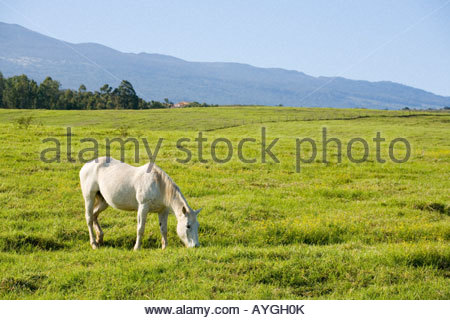 Horse on a ranch in upcountry near Kula on the island of Maui in the state of Hawaii USA - Stock Photo