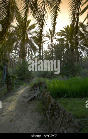 Palm tree lined track Nefta oasis Tunisia - Stock Photo