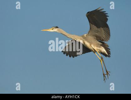 Close up of Grey Heron in flight, Marievale Bird Sanctuary, South Africa - Stock Photo