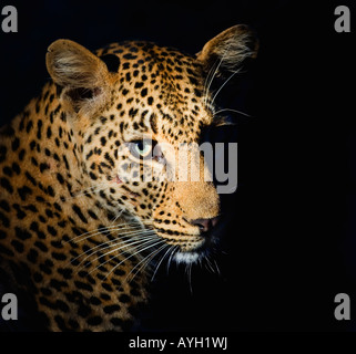 Close up of Leopard, Greater Kruger National Park, South Africa - Stock Photo