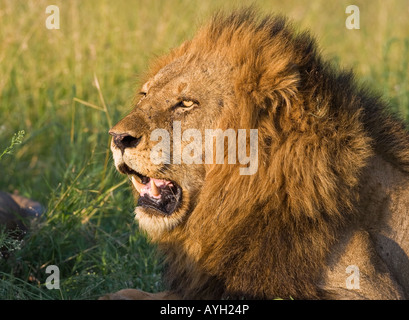Close up of male lion, Greater Kruger National Park, South Africa - Stock Photo