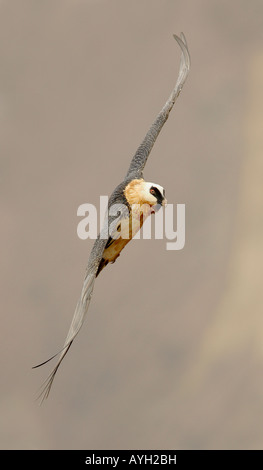 Close up of Lammergeier (Bearded Vulture) in flight, Drakensberg Mountain Range, South Africa - Stock Photo