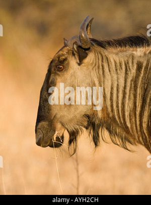 Close up of Blue Wildebeest (Brindled Gnu), Greater Kruger National Park, South Africa - Stock Photo