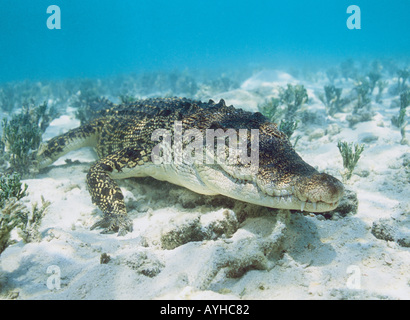 Saltwater Crocodile (Crocodylus porosus) or Estuarine Crocodile. 2m long. Resting underwater in branches of sunken - Stock Photo