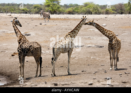 African Giraffes, Giraffa Camelopardalis in Etosha National Park, Namibia - Stock Photo