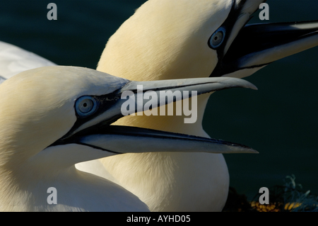 France two gannets northern morus bassan shouting and fighting with another one - Stock Photo