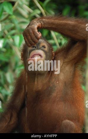 Close-up portrait of young Orang Utan drinking rainwater Sabah, Malaysia, Borneo - Stock Photo
