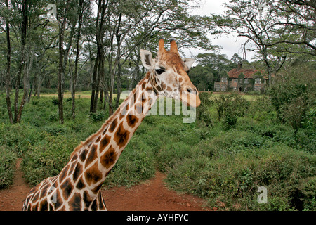 Giraffe at refuge near Nairobi Kenya Africa