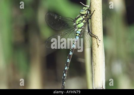 Grosslibelle Blaugruene Mosaikjungfer - Stock Photo