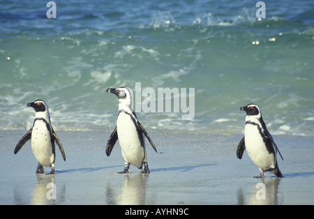 Brillenpinguine Kap Halbinsel Suedafrika - Stock Photo